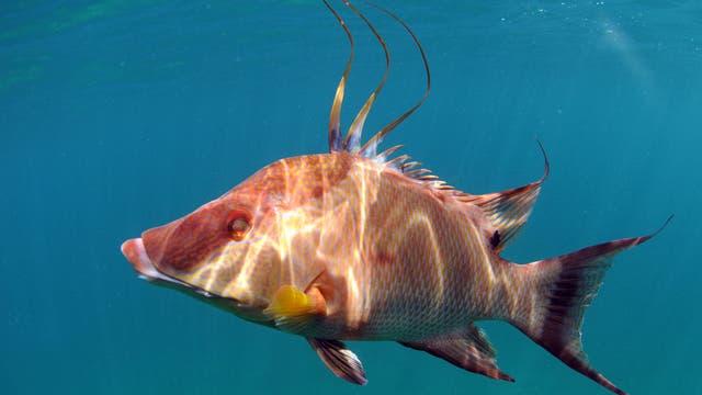 Eber-Lippfisch