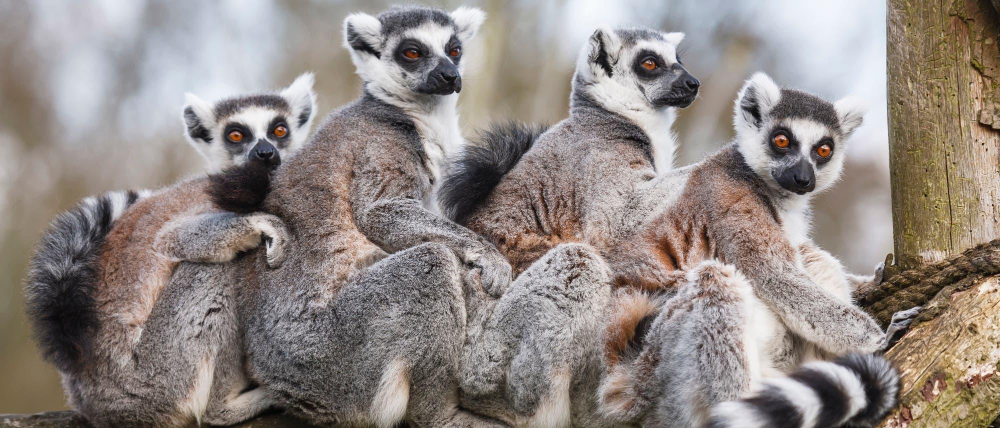 Eine kleine Gruppe von Katta-Lemuren