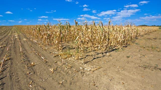 Staubiges, trockenes Feld mit traurigen verbrannten Maispflanzen