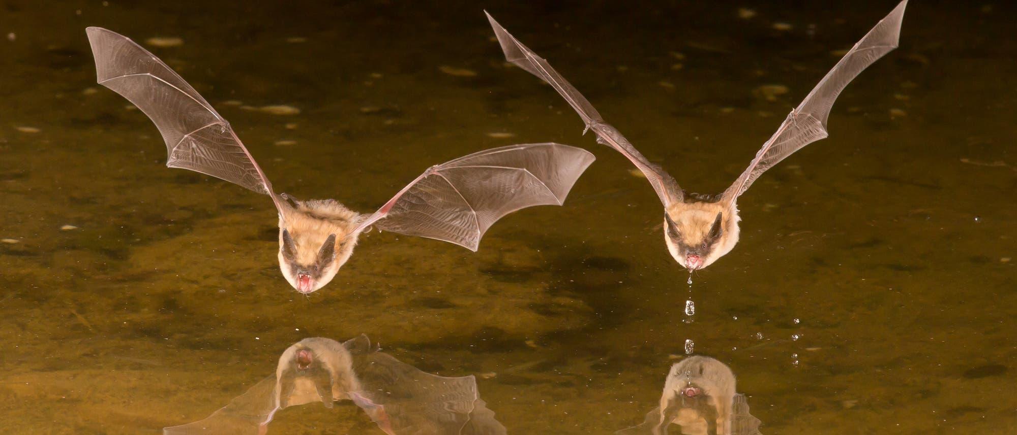 Zwei Fledermäuse segeln übers Wasser