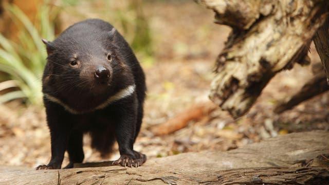 Ein Beutelteufel oder Tasmanischer Teufel, Sarcophilus harrisii