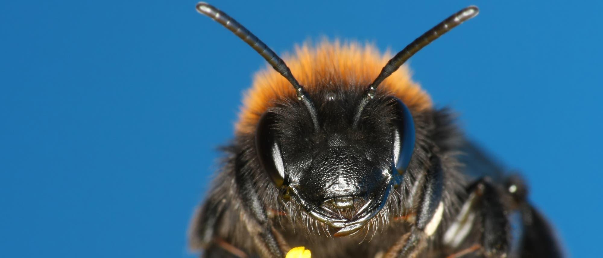 Eine Biene in Nahaufnahme