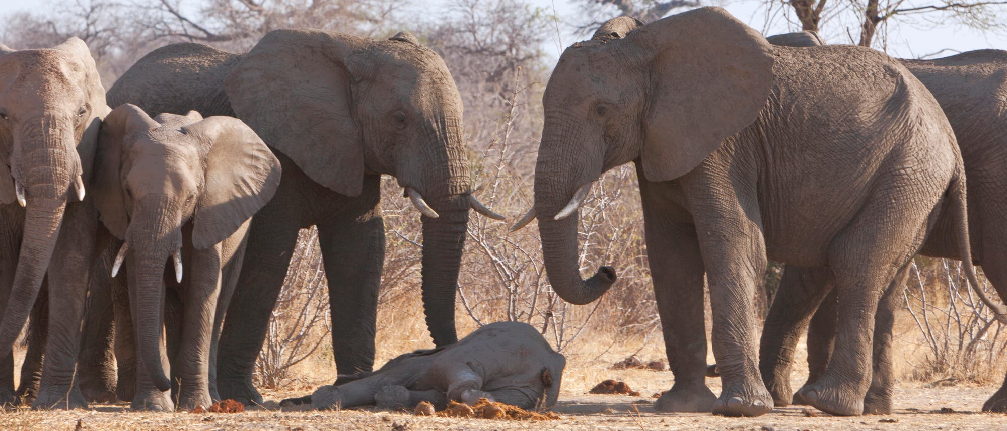 Trauernde Elefanten