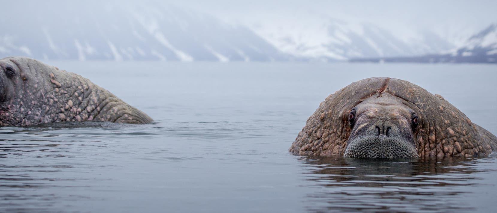 Walrosse in arktischen Gewässern