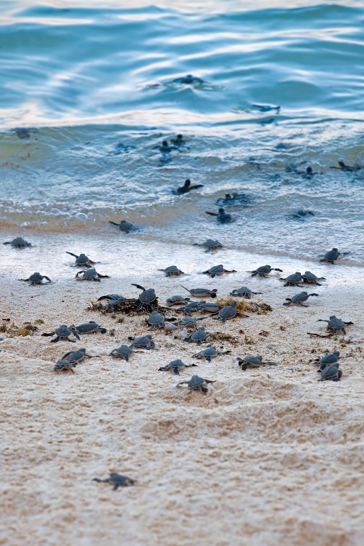 Frisch geschlüpfte Schildkrötenbabys laufen ins Meer.