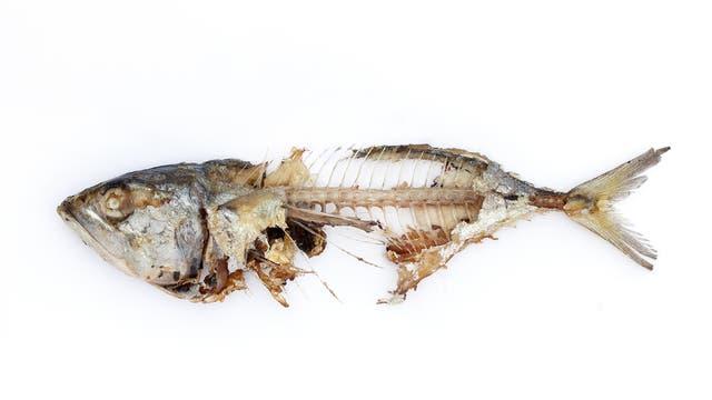 Dies ist ein definitiv toter Fisch. Ein Ex-Fisch. Er ruht in Frieden.