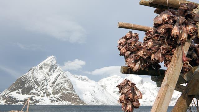 Abgetrennte Dorschköpfe baumeln vor malerisch-maritimer Lofoten-Schneelandschaft zum Trocknen vom Gerüst.