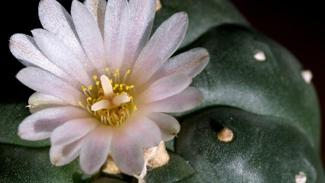 Blüte eines Peyote-Kaktus