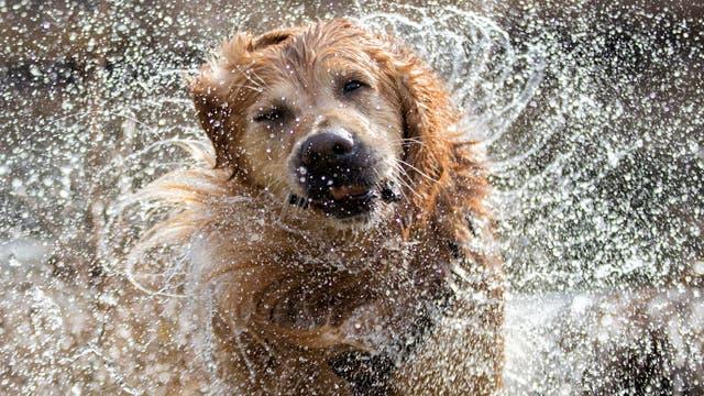 Hund schüttelt sich trocken