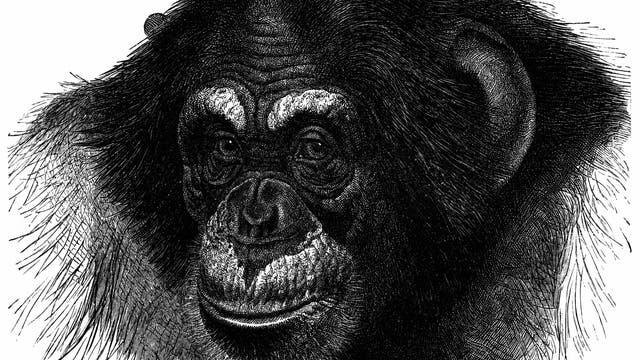 Ein gezeichnetes Porträt eines Schimpansen