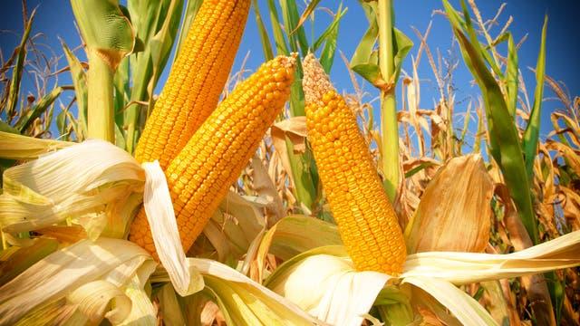 Der Mais hat wohl das dynamischste Genom der Welt