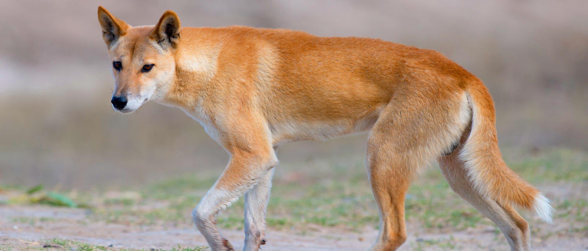 Australischer Dingo im Outback von Queensland