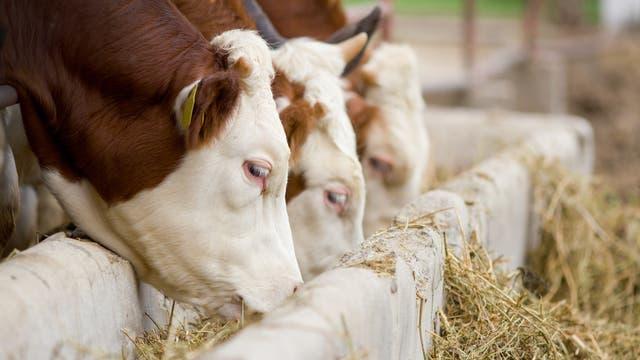 Rinder in einem Stall