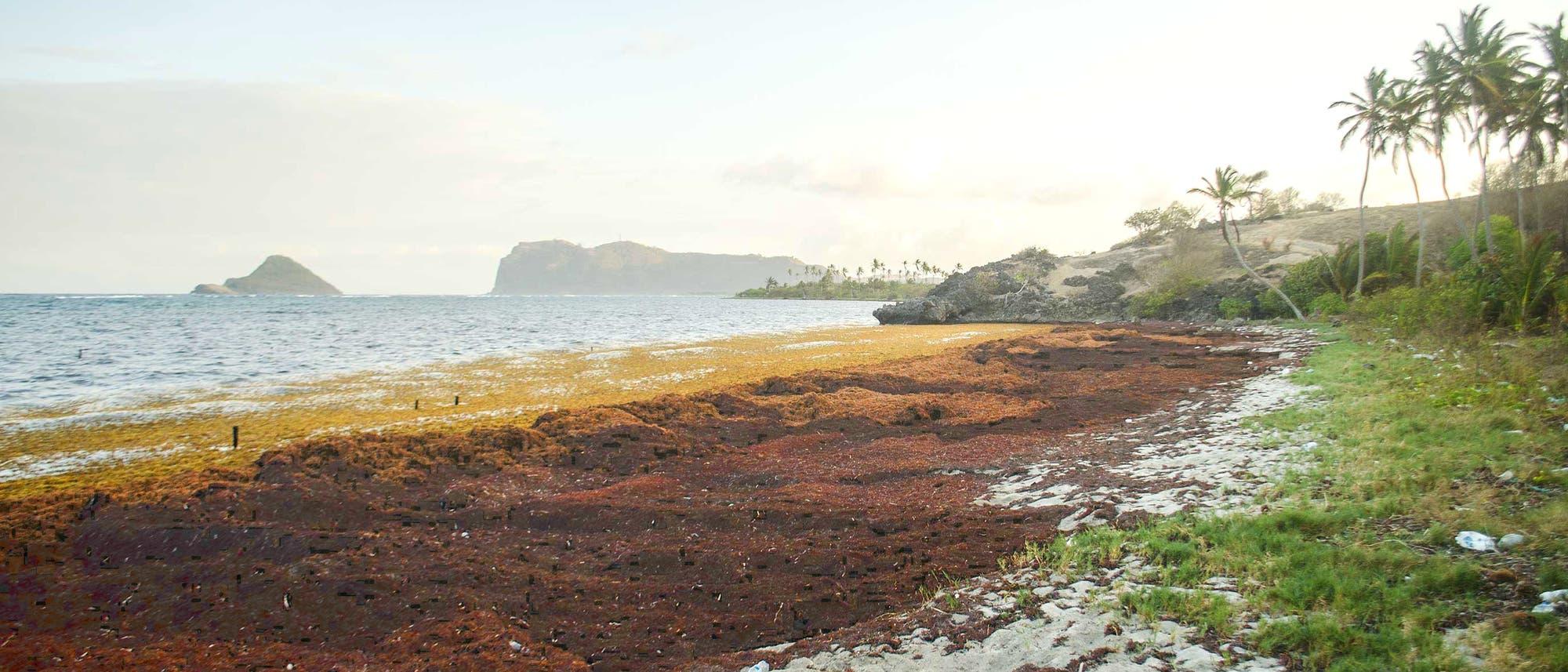 Eine dicke Schicht Sargassum-Braunalgen bedeckt Strand und Wasser auf einer Karibikinsel.