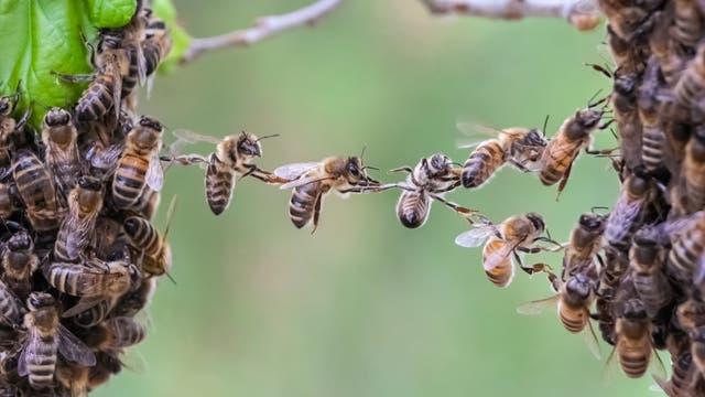 Bienen bilden eine lebende Brücke über eine Lücke.
