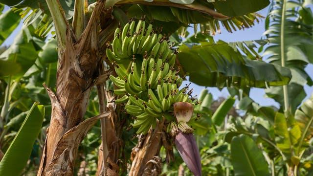 Bananenplantage auf Martinique
