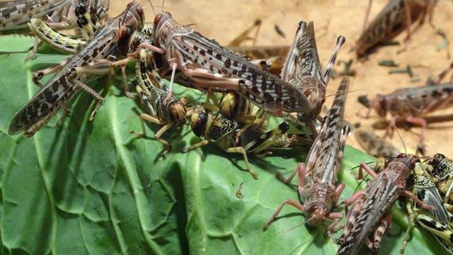 Afrikanische Wüstenheuschrecken der Art Schistocerca gregaria beim Fressen