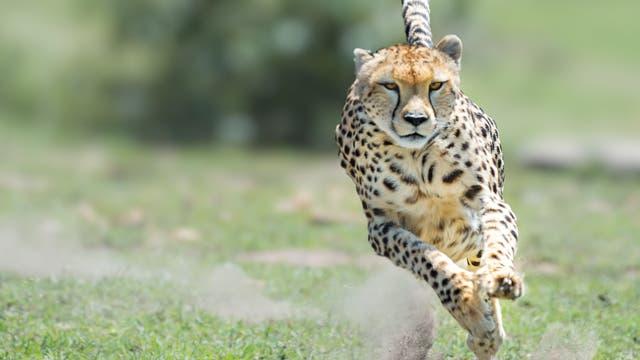 Gepard in vollem Lauf