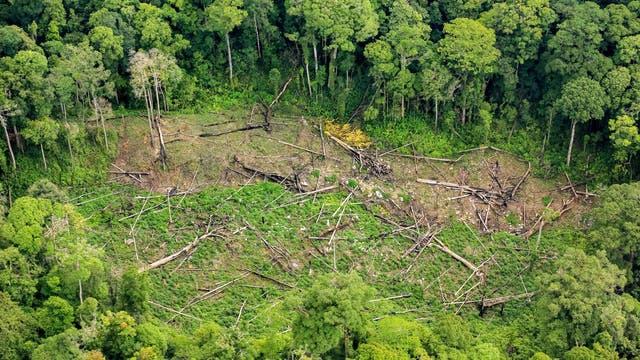Gefällte Bäume reißen ein Loch in den Wald