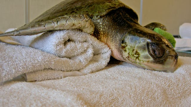 Gerettete Meeresschildkröte (Archivbild)