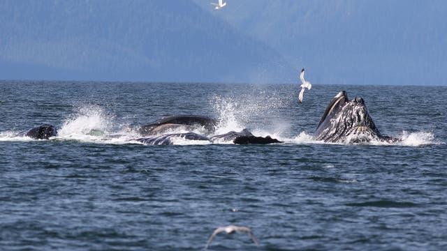 Buckelwale bei der Jagd