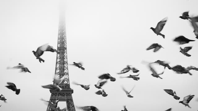 Tauben in Paris