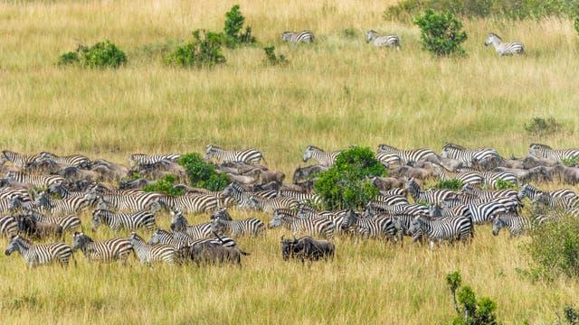 Zebras und Gnus bei ihrer großen Wanderung in der Masai Mara in Kenia.