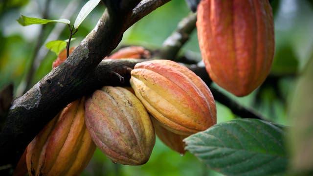 Kakaobäume sind anfällig für Krankheiten