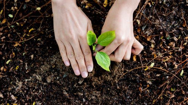 Zwei Hände pflanzen ein kleines Pflänzchen in die Erde