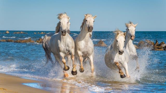 Camargue-Pferde preschen an einem Strand in der Provence entlang.