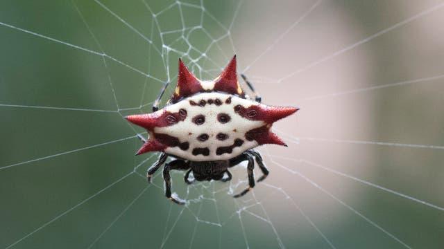 Eine schicke, krabbenförmige Spinne lauert im Netz: Gasteracantha arcuata
