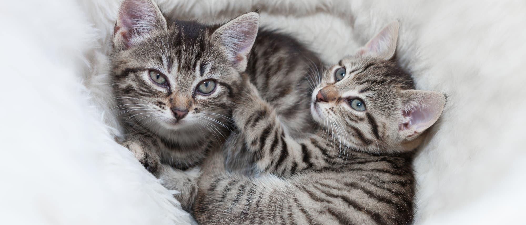 Zwei Babykatzen liegen in einem Korb und gucken erwartungsvoll in die Kamera.