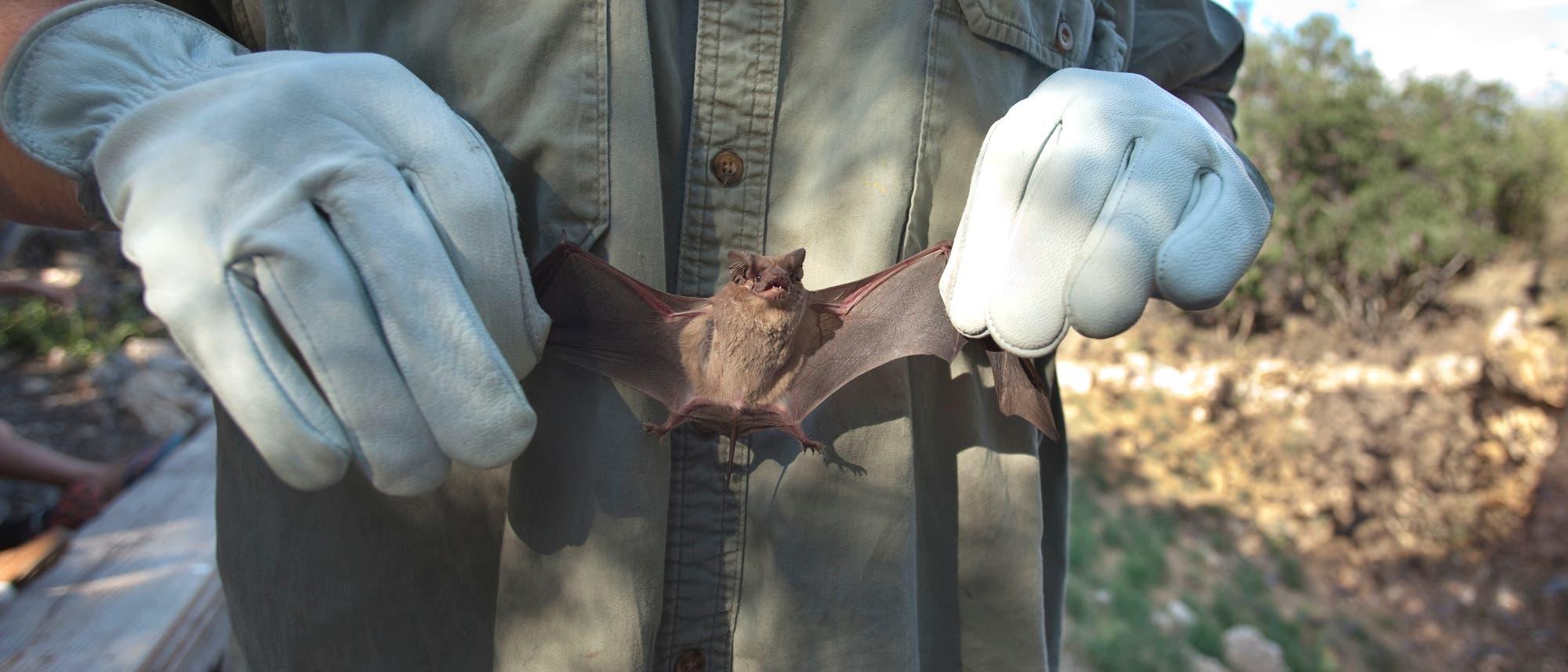 Ein Naturschützer hält eine kleine Fledermaus an ihren ausgestreckten Flügeln in die Kamera.
