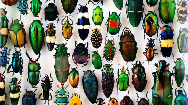 Vielfalt tropischer Käfer