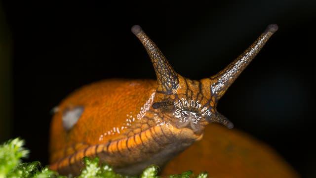 Spanische Wegschnecke (Arion vulgaris)