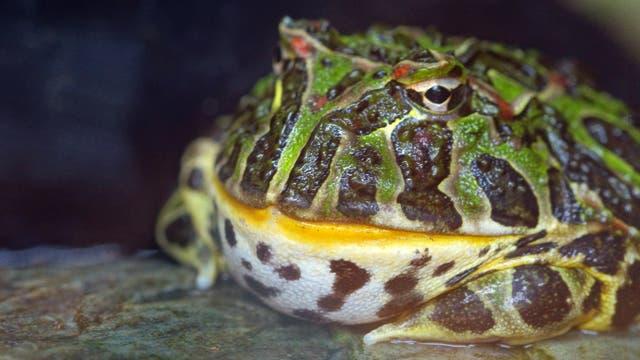 Ein Hornfrosch aus Südamerika