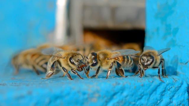 Bienen am Stock