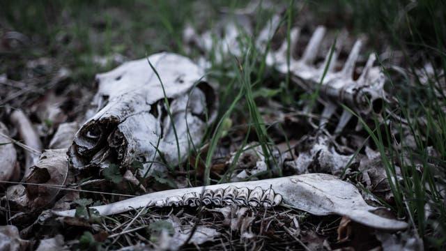 Schädel und Knochen eines verwesten Schweins