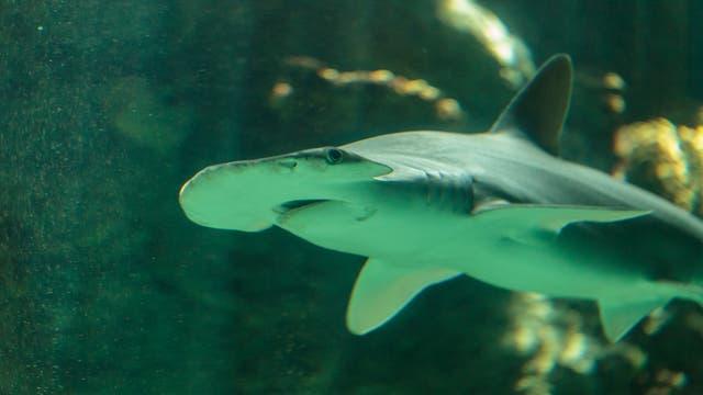Ein Schaufelnasen-Hammerhai