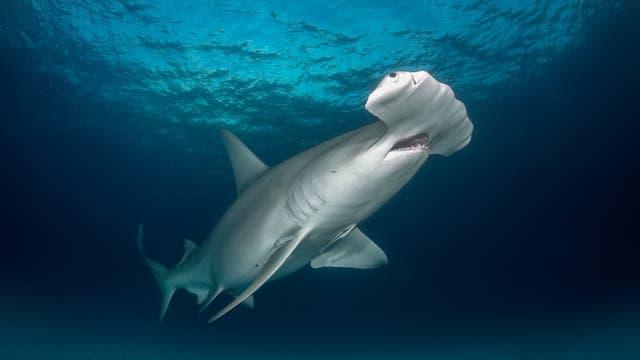 Hammerhai im Meer