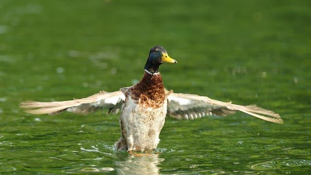 Ein Erpel mit ausgebreiteten Flügeln auf einem Gewässer.