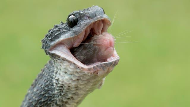 Schlange verspeist Nager (Symbolbild)