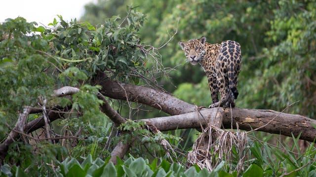 Jaguar auf einem Baum