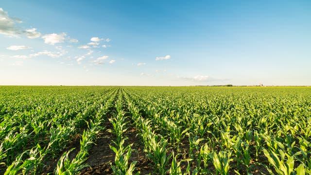 Maisanbau im Mittleren Westen