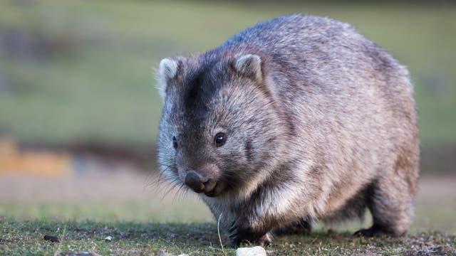 Wombat (Vombatus ursinus)