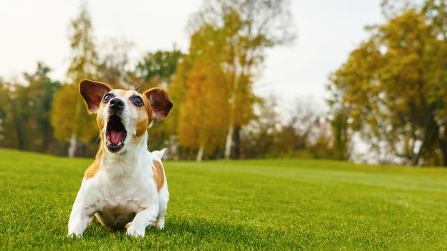 Ein kleiner, verschreckt bellender Hund auf einer grünen Wiese