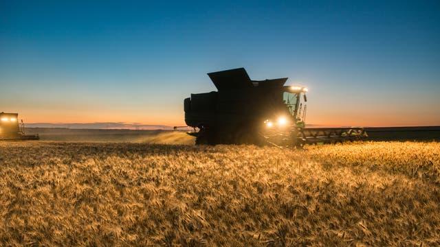 Mähdrescher arbeitet abends ein Weizenfeld ab