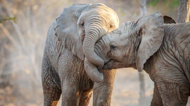 Zwei Elefanten ohne Stoßzahn spielen