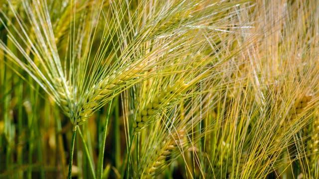 Getreidefeld mit Einkorn