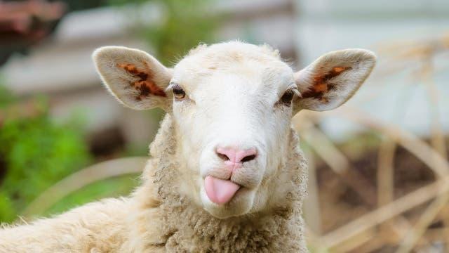 Ein Schaf streckt die Zunge raus.